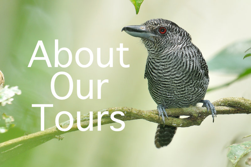 Canopy Family About Our Tours Fasciated Antshrike
