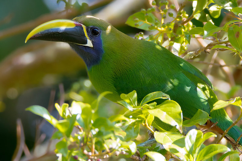 Northern Emerald-Toucanet Panama