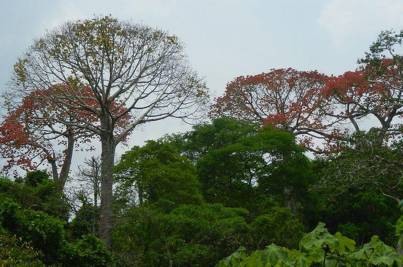 Cuipos Cavanillesia platanifolia Panama