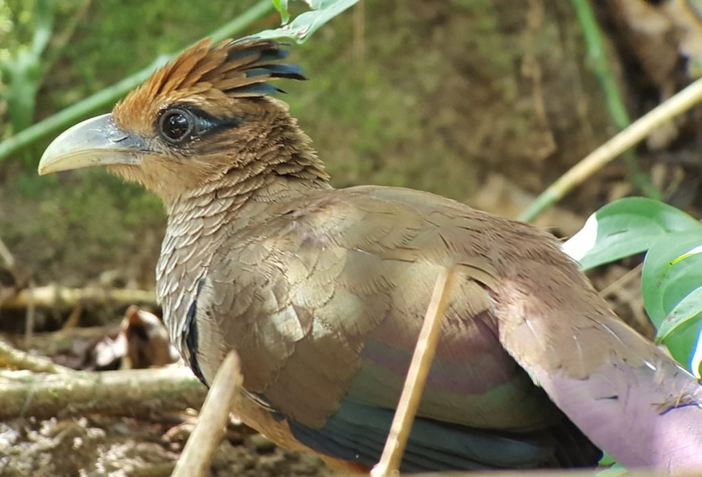 Rufous-vented Ground-Cuckoo DRJ