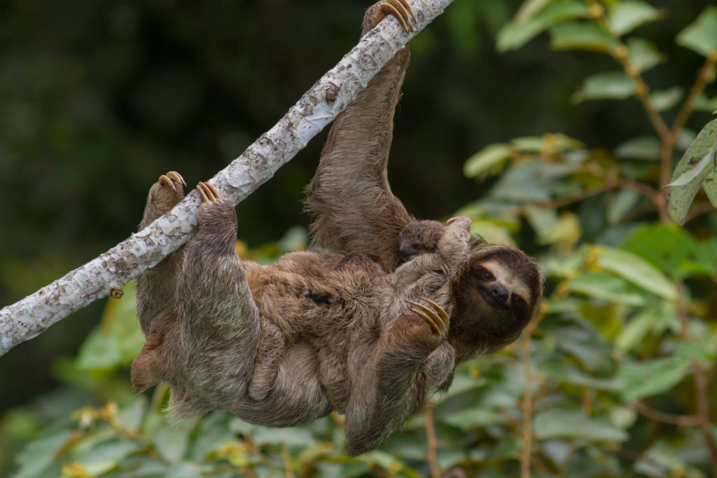 Brown-throated Three-toed Sloth with 2 babies